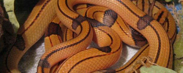 В зоопарке Екатеринбурга появились малоизученные змеи